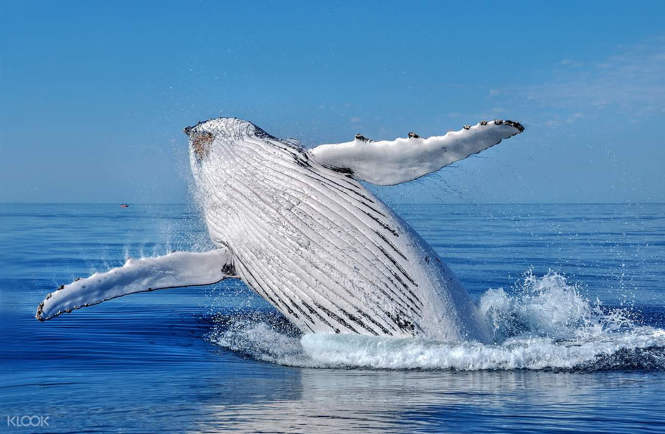 whale leaping out of water