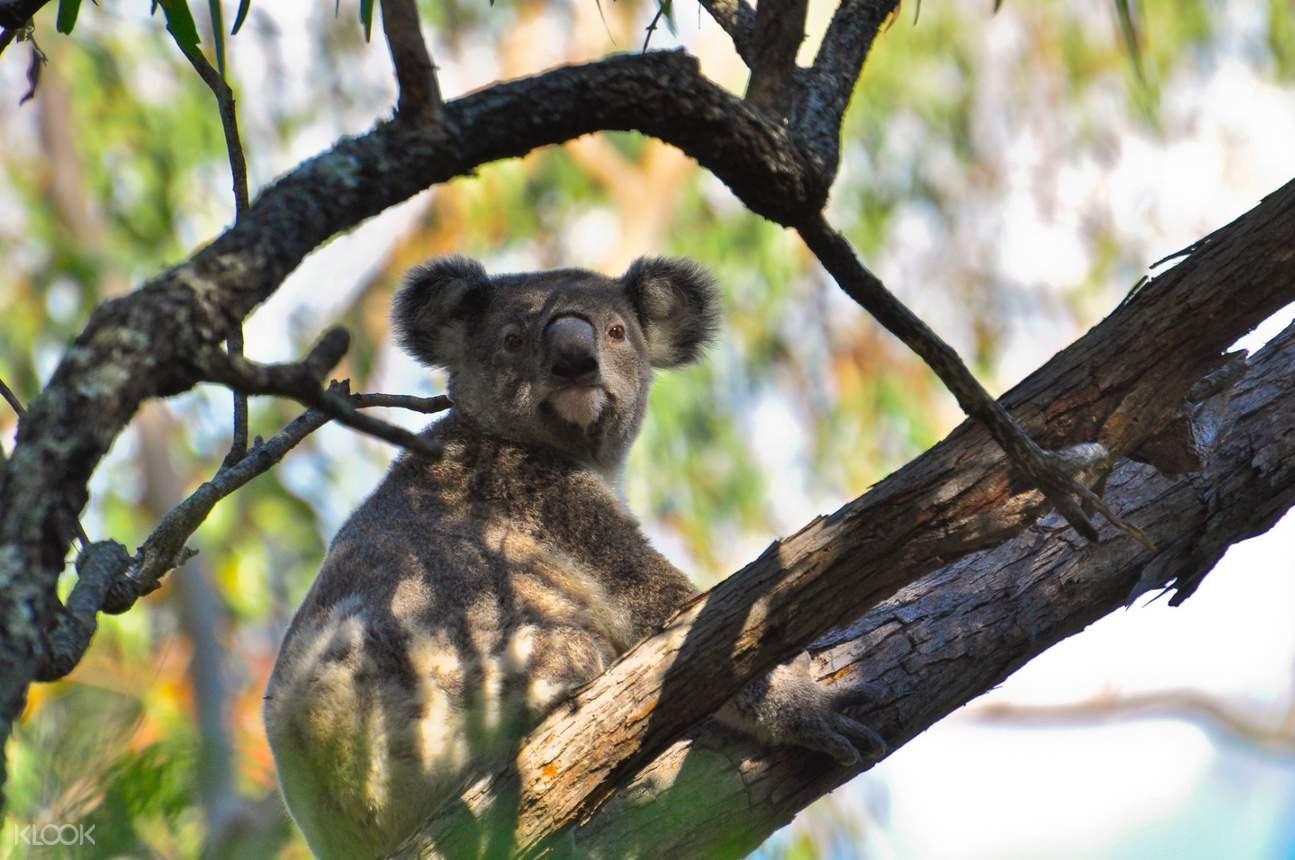 a koala hanging on a tree branch