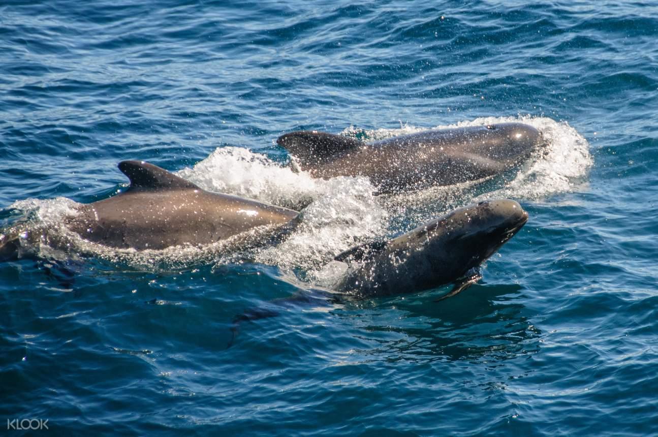 直布羅陀灣海豚