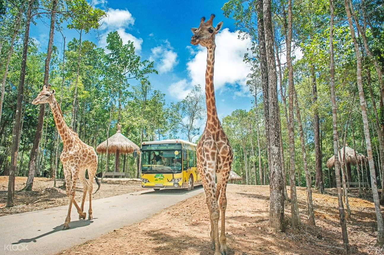 Vinpearl Safari Phu Quoc giraffe feeding