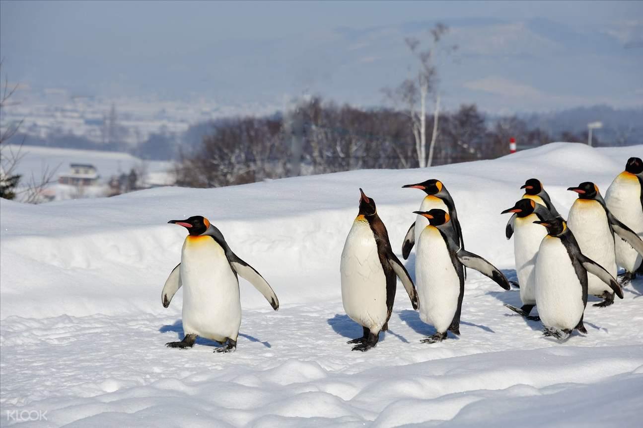 Penguins walking in Asahiyama Zoo