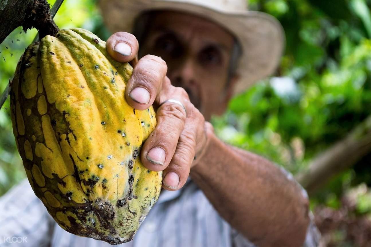 cacao fruit up close