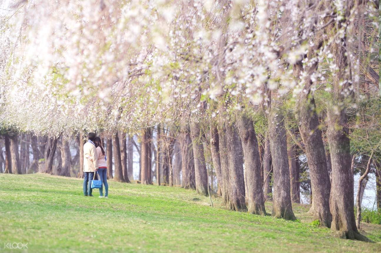 couple surrounded by cherry blossom trees in Nami Island