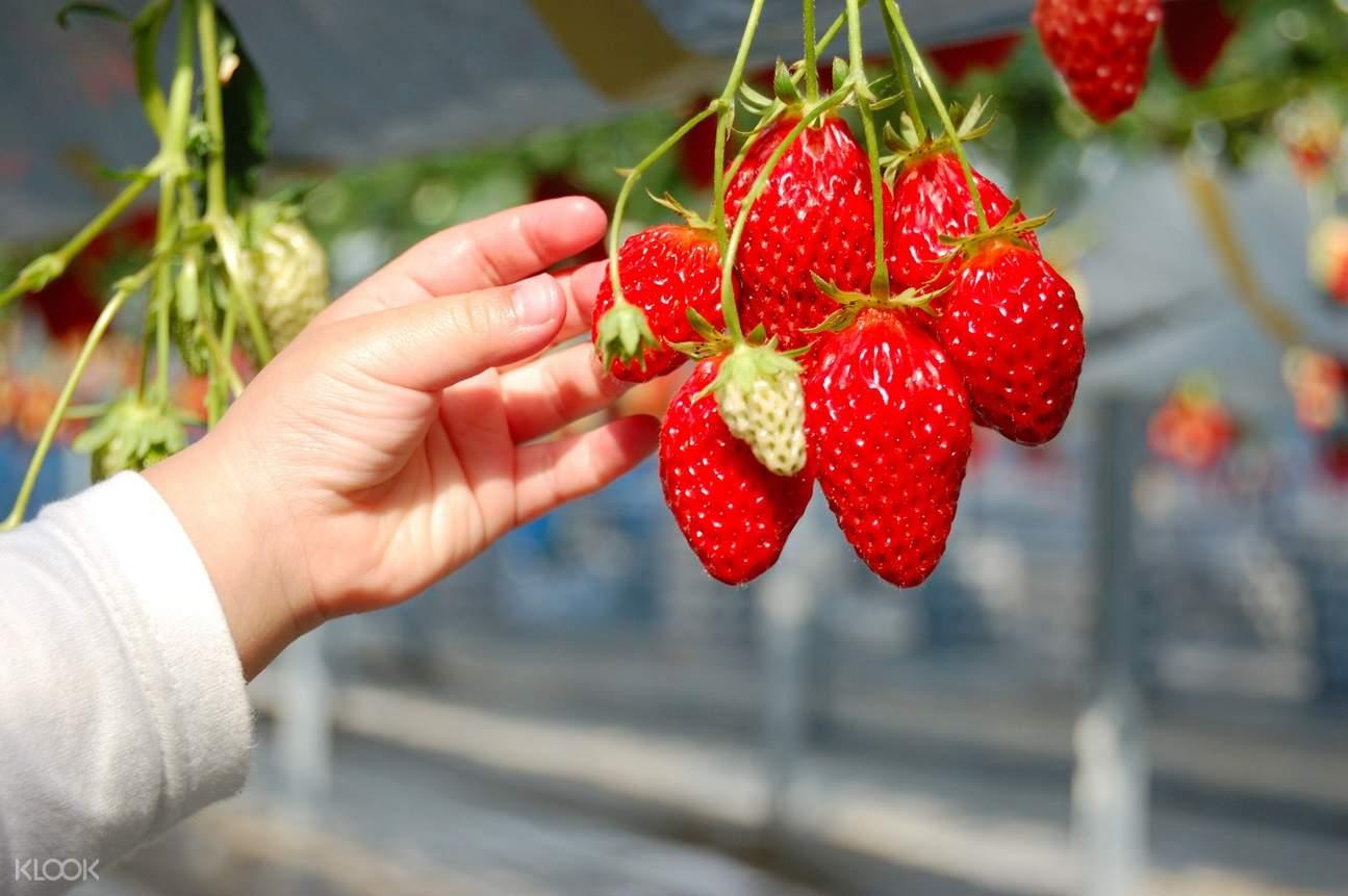 strawberry picking japan