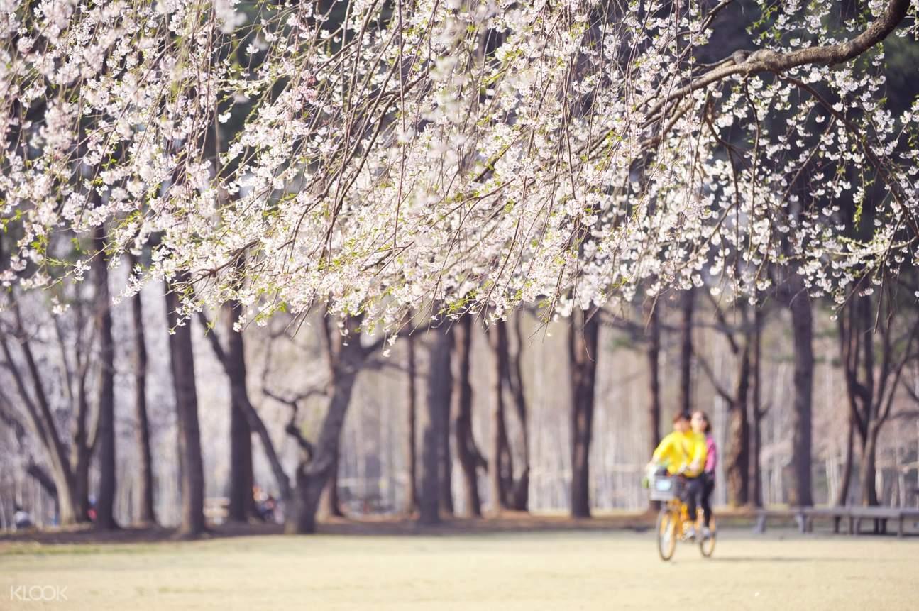 cherry blossom trees in nami island