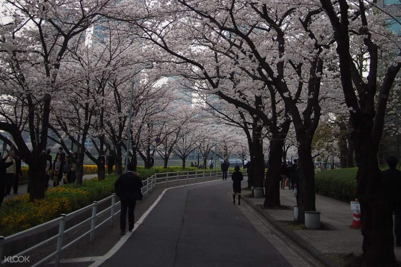 Cherry blossoms along path in Tokyo park