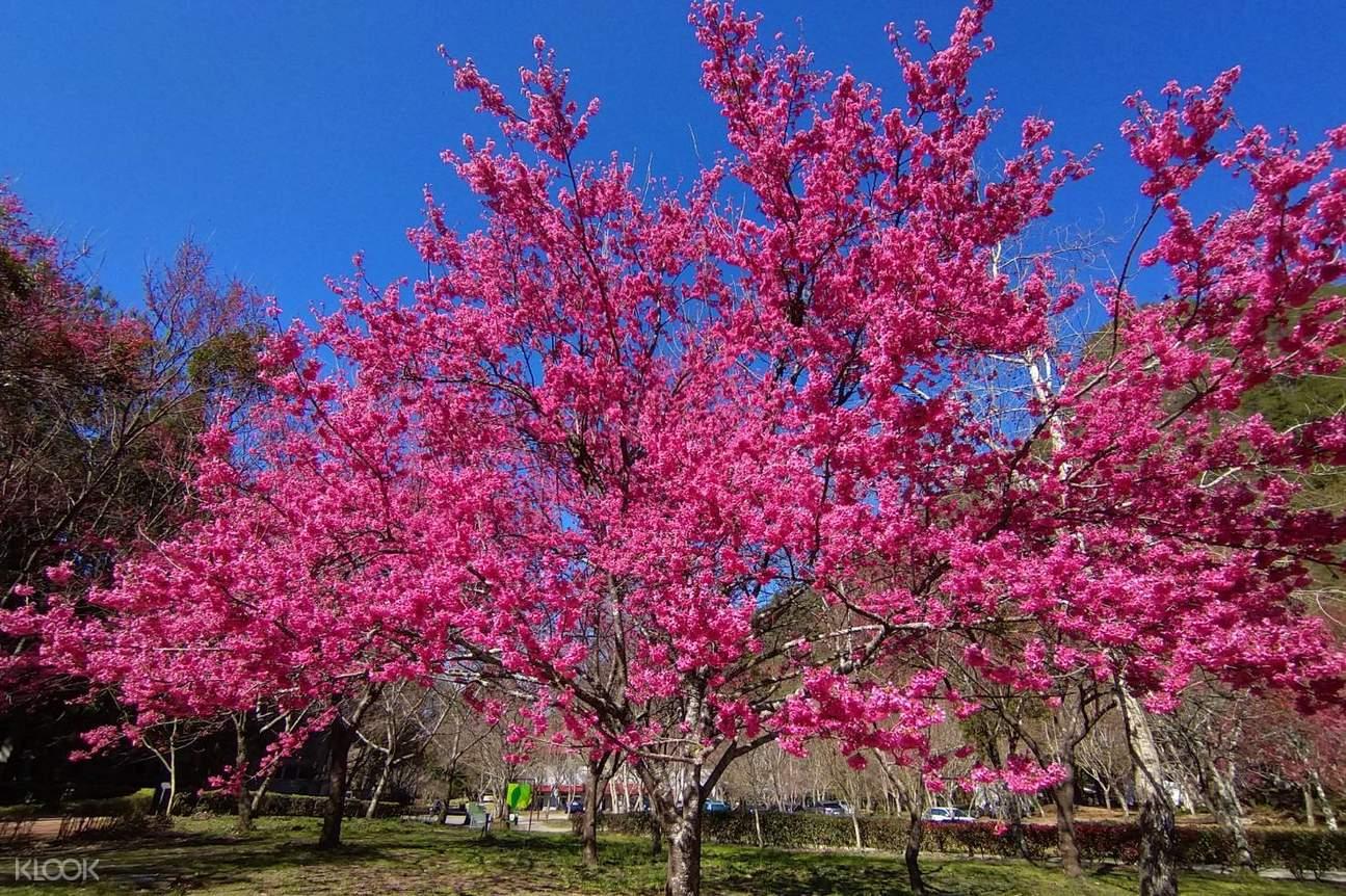 櫻花盛開之時,亦會呈現一道道自然的櫻花道