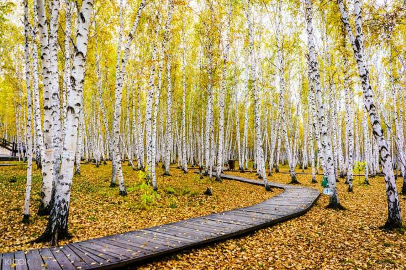 birch tree forest scenic area