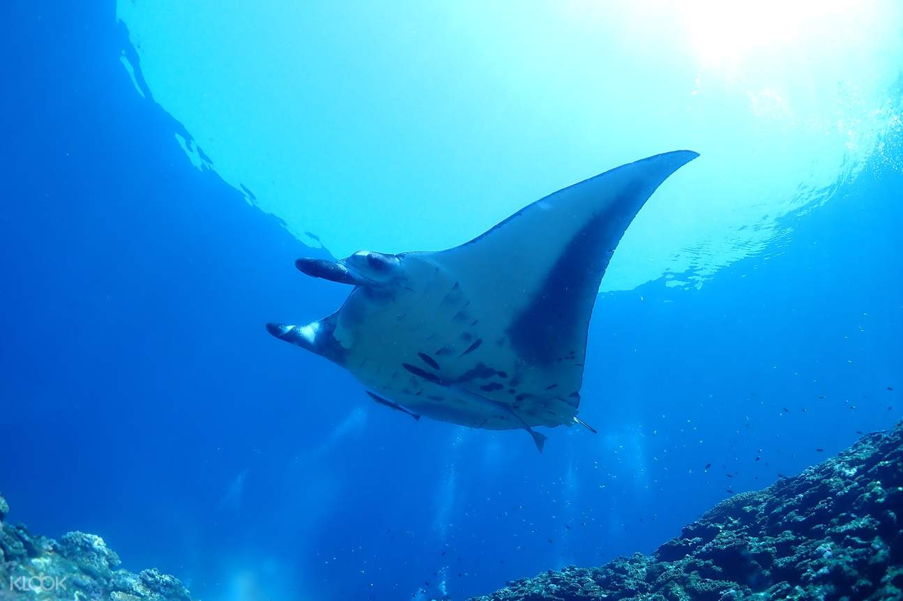 Enjoy the time snorkeling with Stingrays under the water