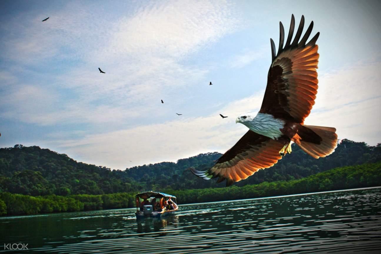 Eagle flying in Langkawi