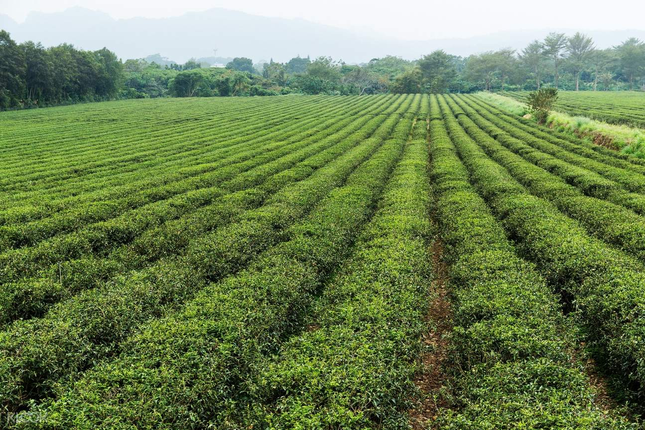 Luye Tea Hill Chishang