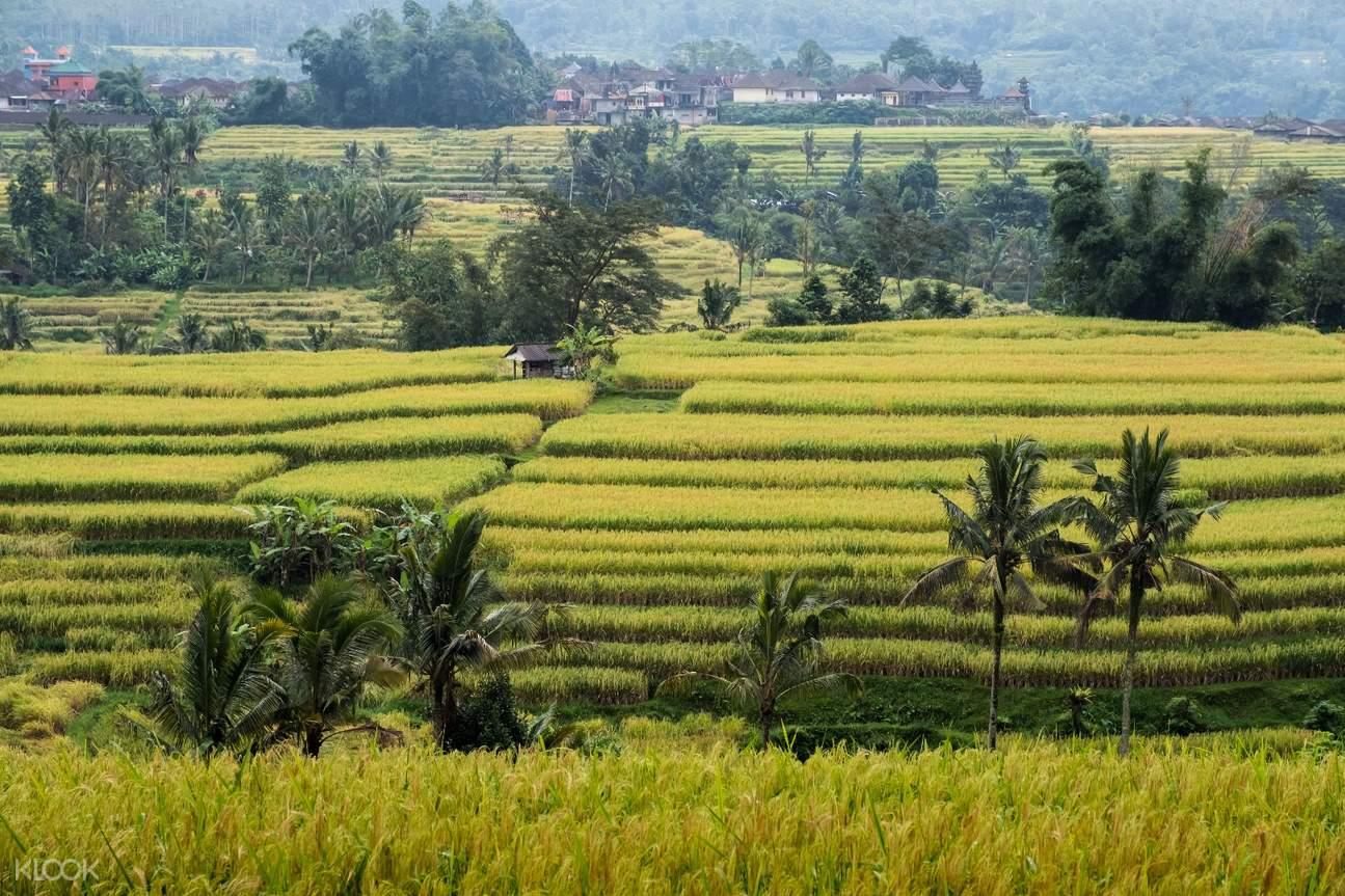 bedugul rice terraces