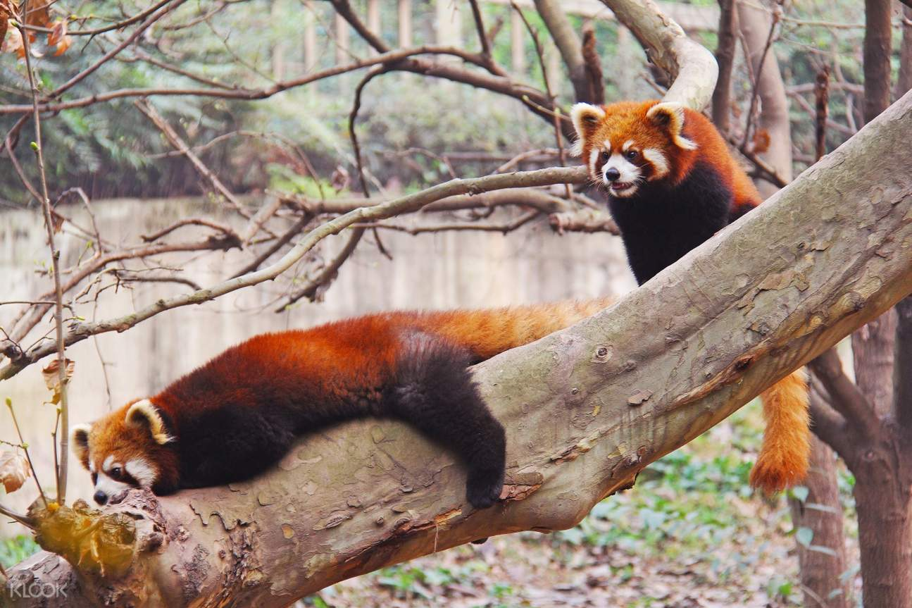 chengdu red panda