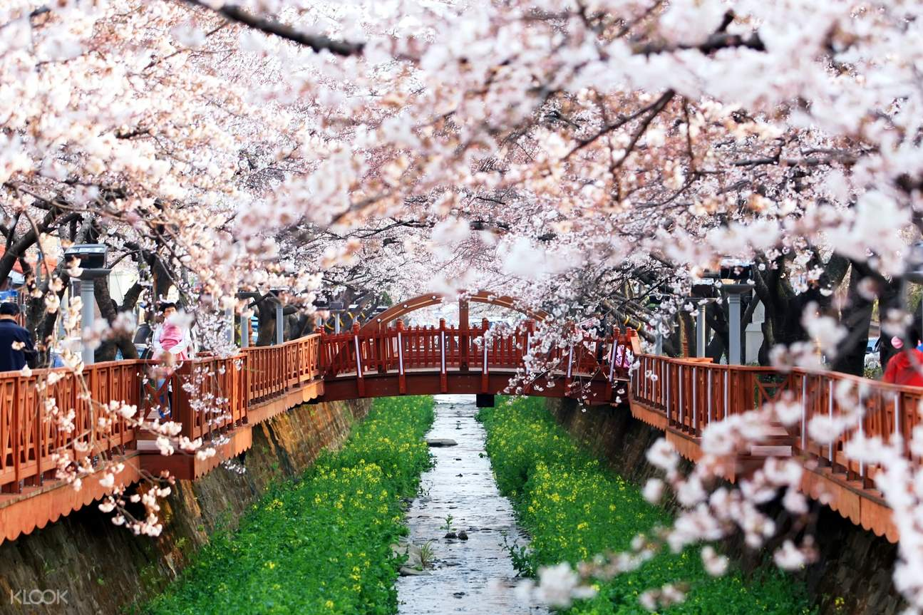 a bridge in busan filled with cherry blossom