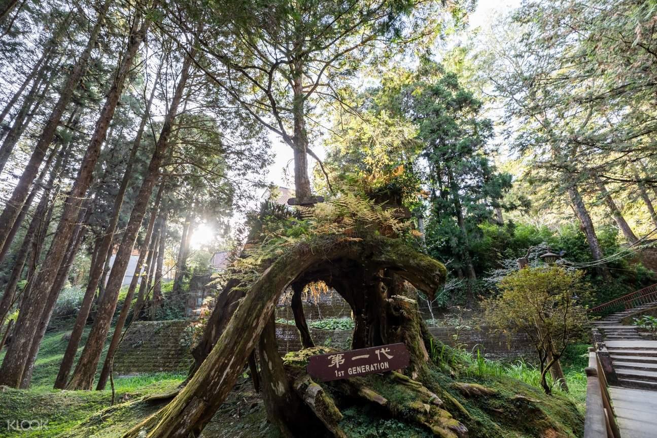 阿里山第一代檜木