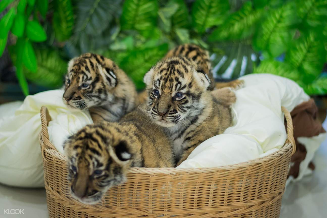 infant tigers in tiger kingdom chiang mai