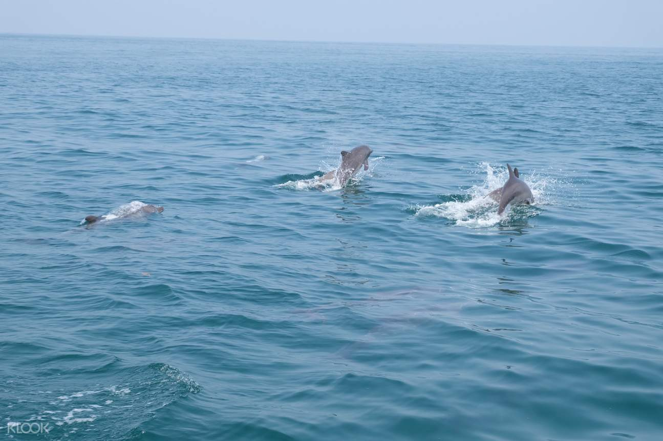 dolphin watching in racha island