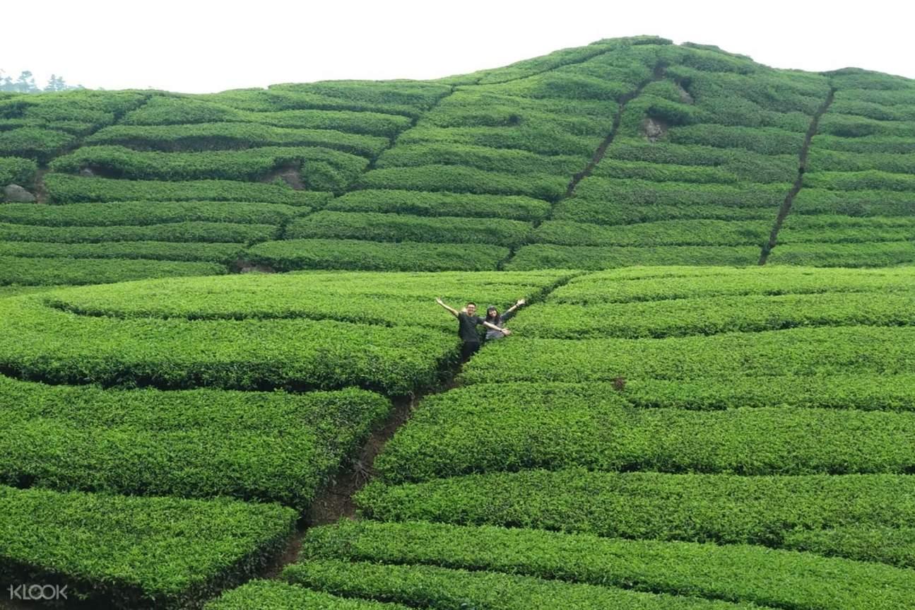 vast tea plantation in bandung