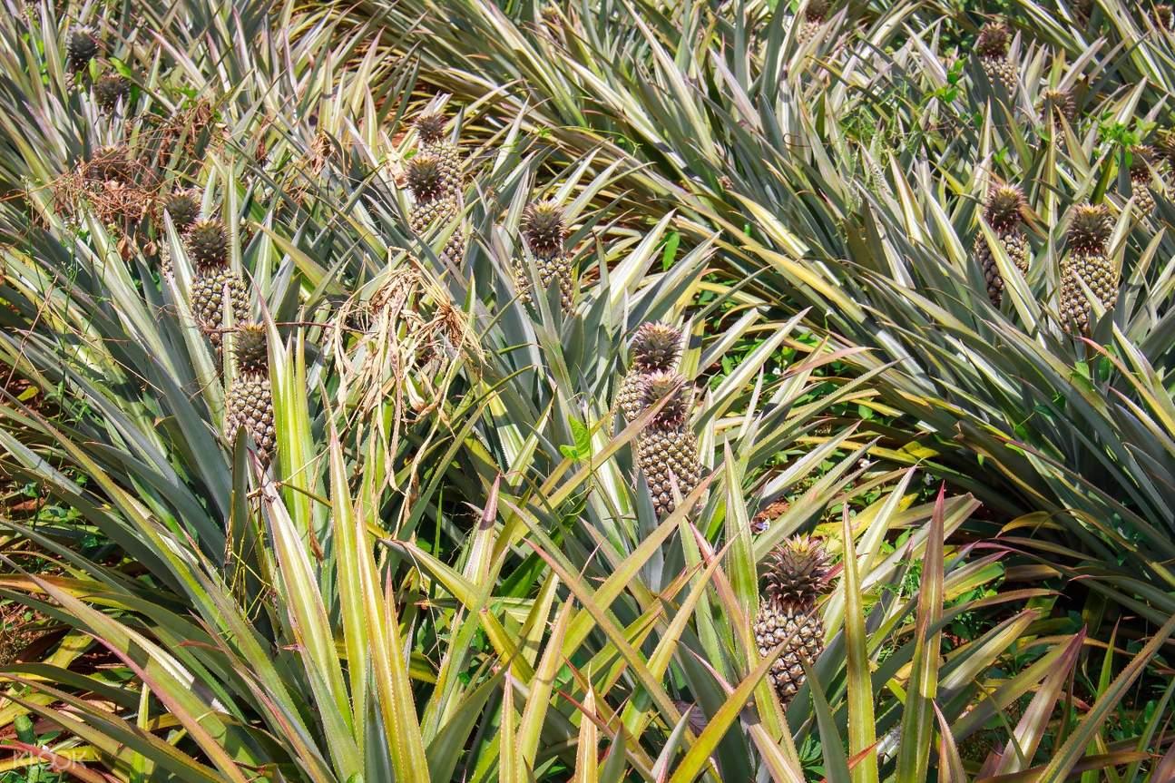 普吉島生態探險- 菠蘿種植園