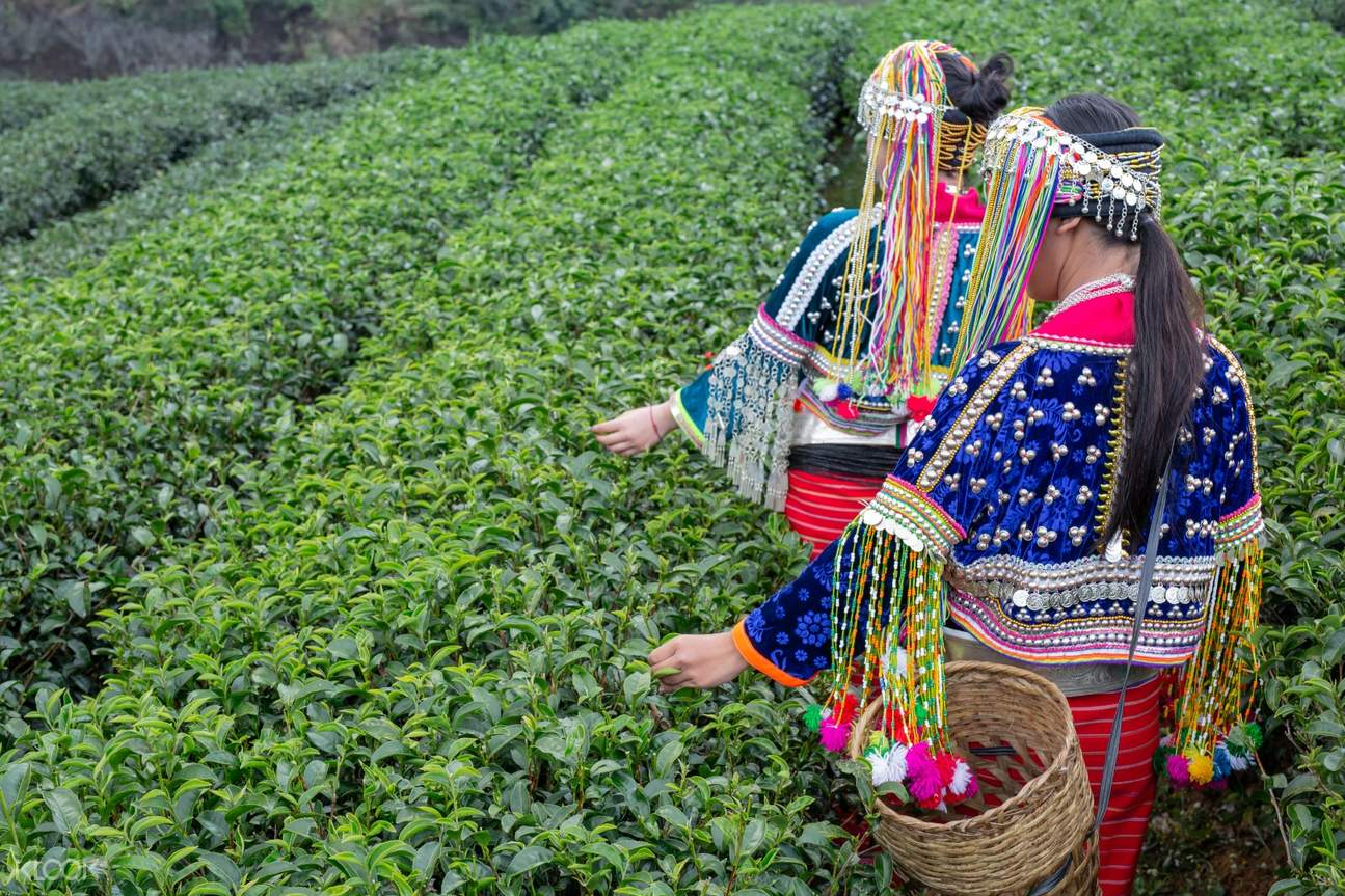 Follow the local people to learn the tea ceremony and experience picking up tea at the tea plantation