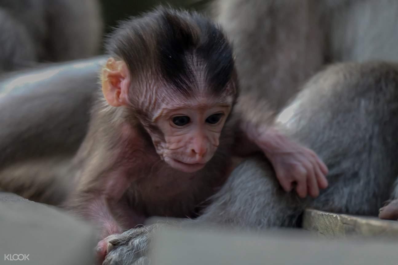 long tailed baby monkey