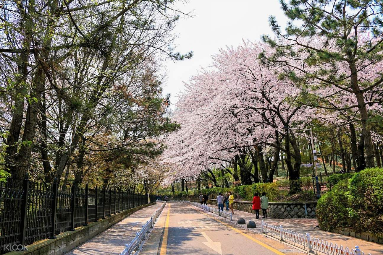 tourists walking in the middle of cherry blossoms