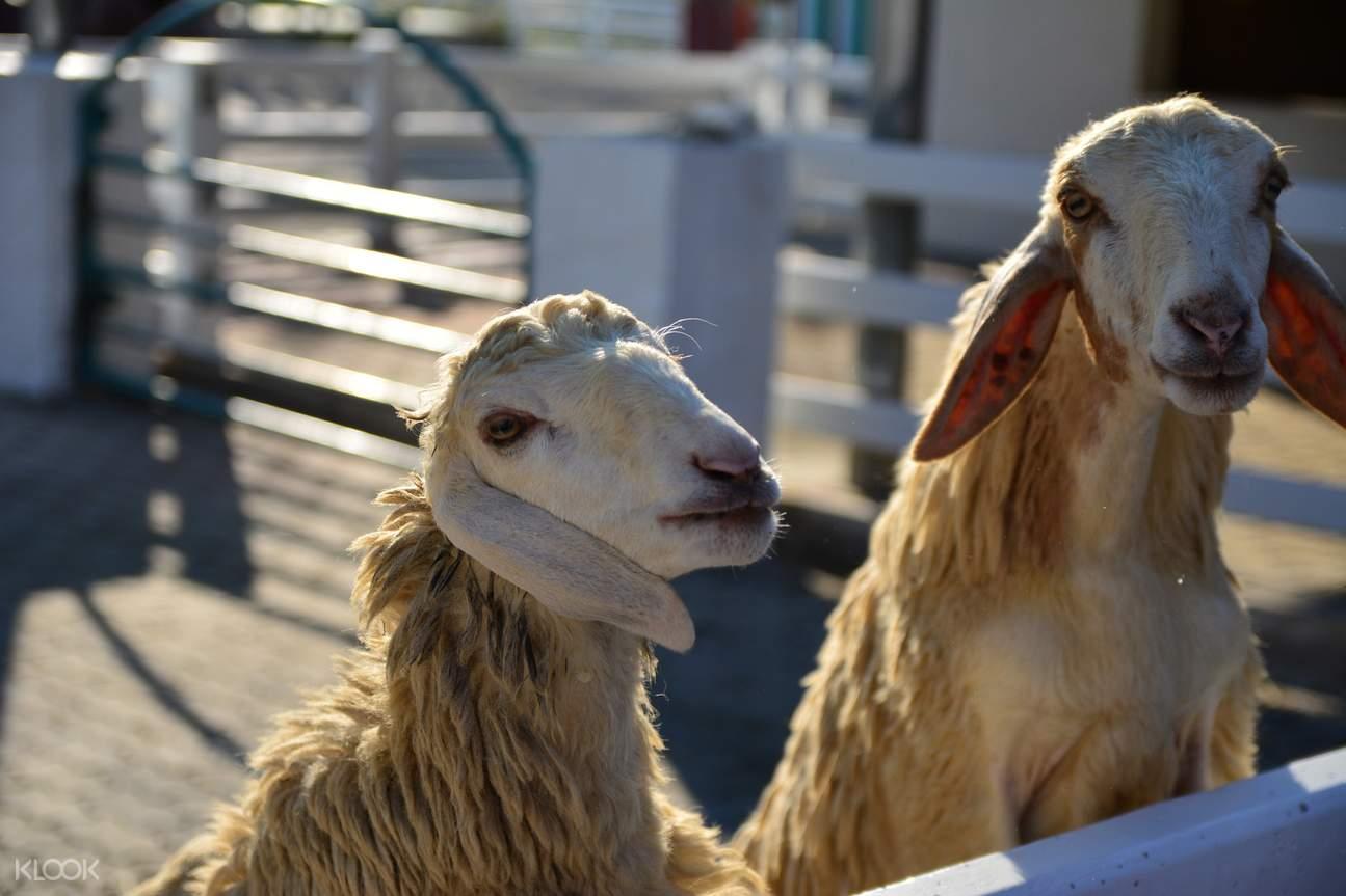 芭提雅綿羊,芭提雅農場,芭提雅綿陽農場,芭提雅親子活動