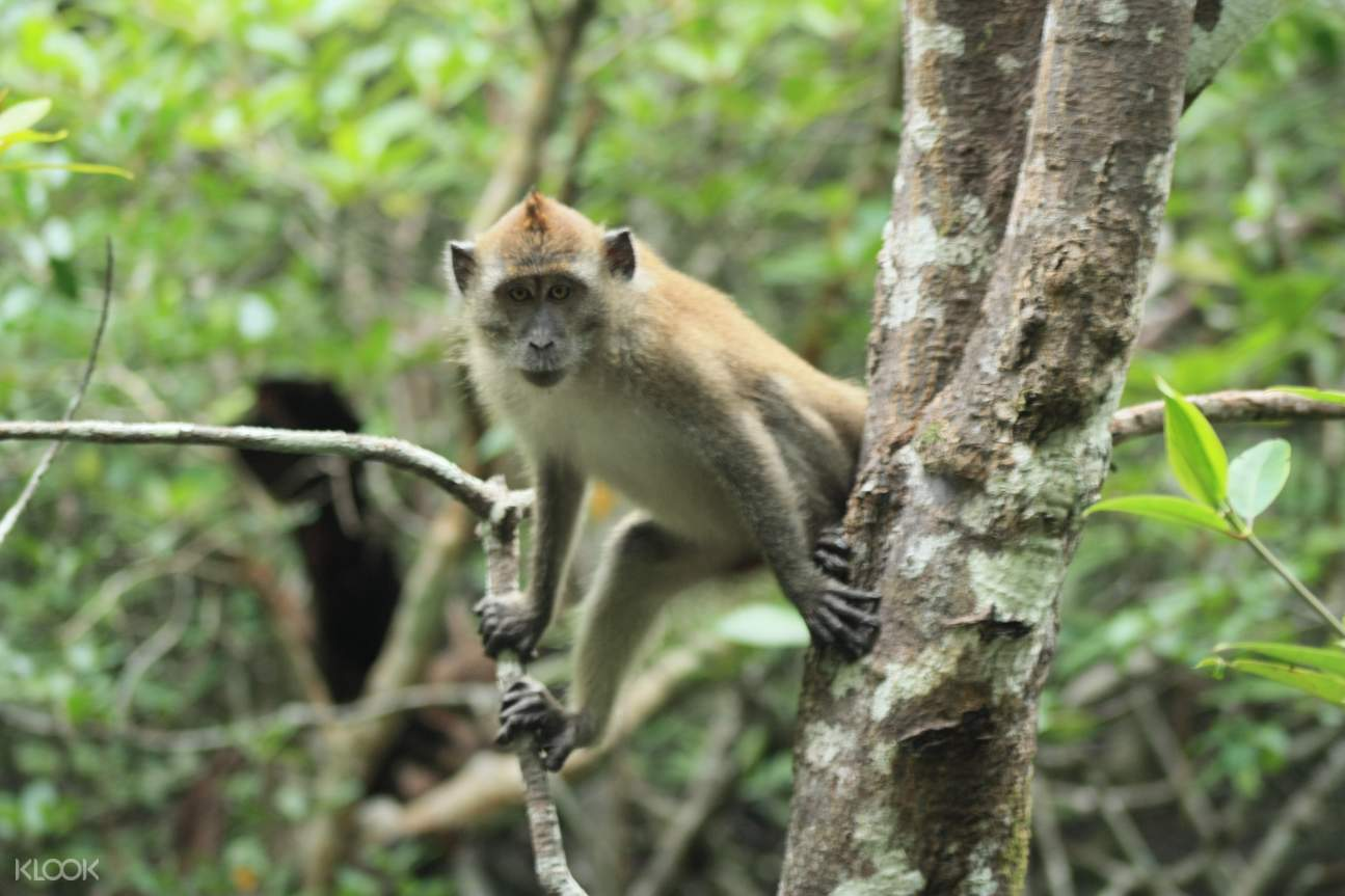 兰卡威红树林,兰卡威探险,兰卡威户外,兰卡威半日游,红树林巡游,兰卡威红树林探险