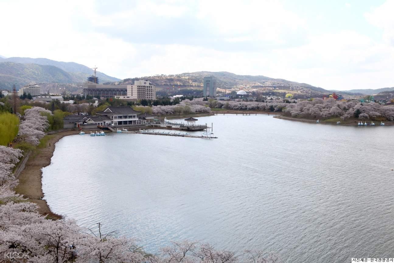 cherry blossom festival gyeongju