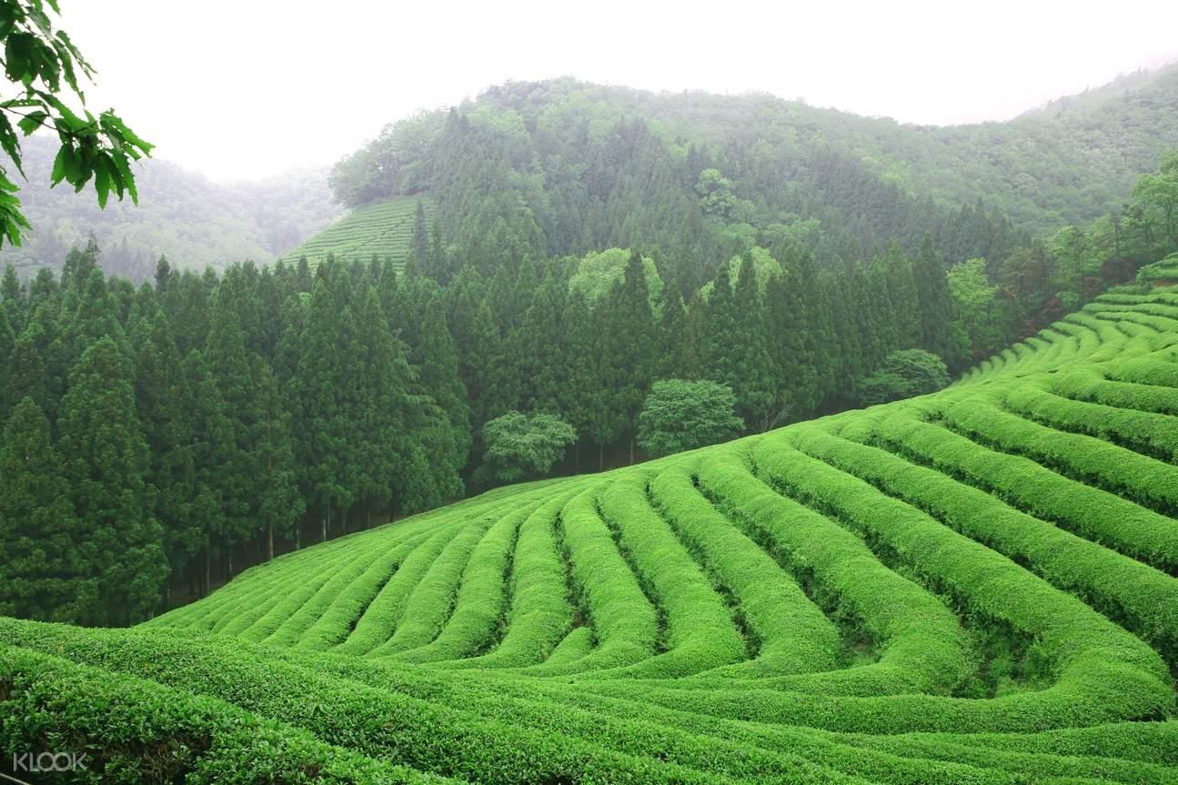 Daehan Dawon Green Tea Plantation