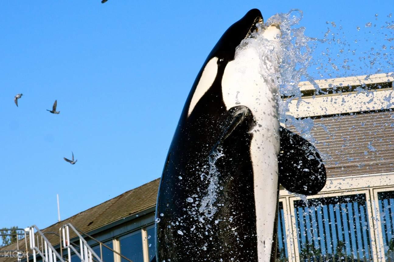 Sea World San Diego Orcas