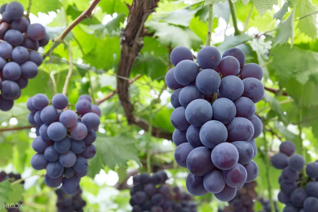 grape picking tour