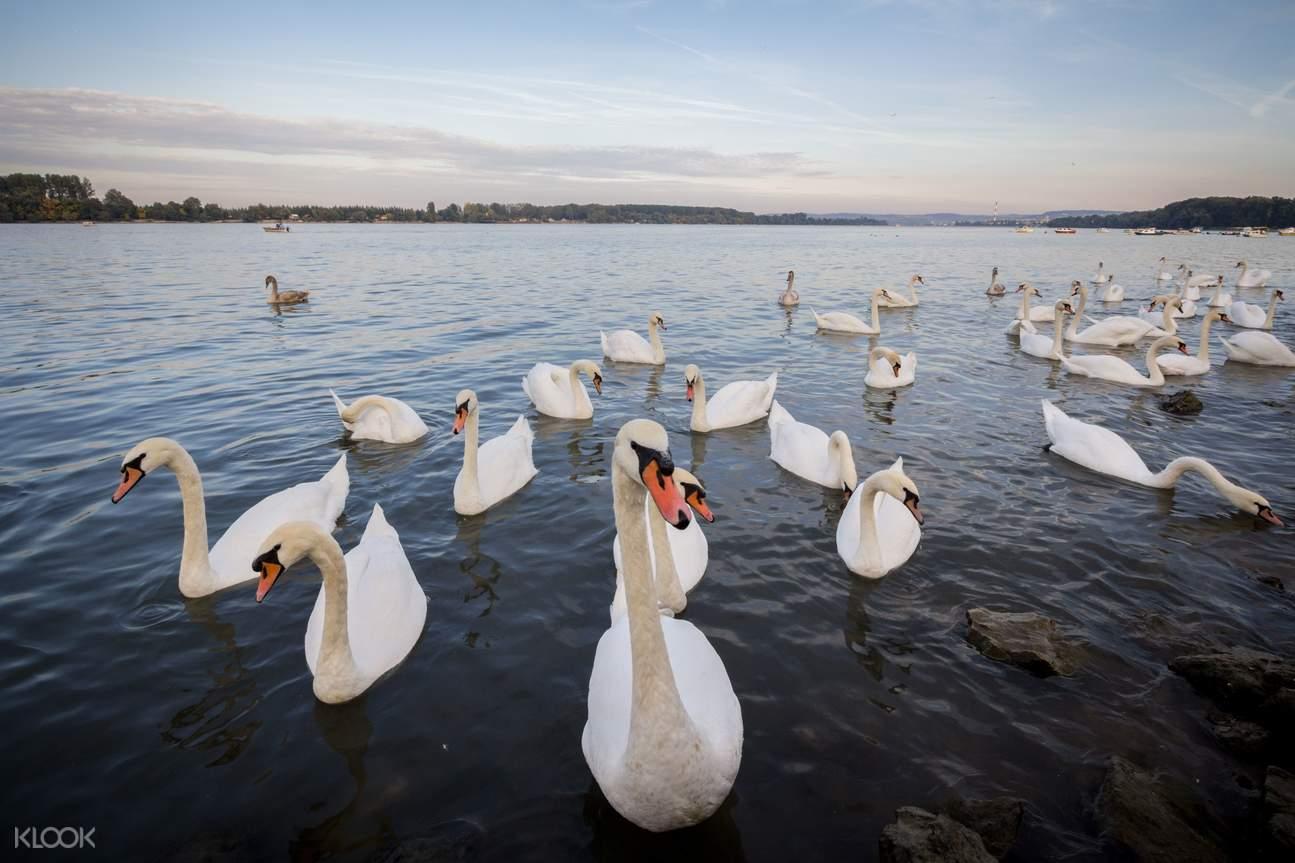 swan on the Danube river in Zemun area