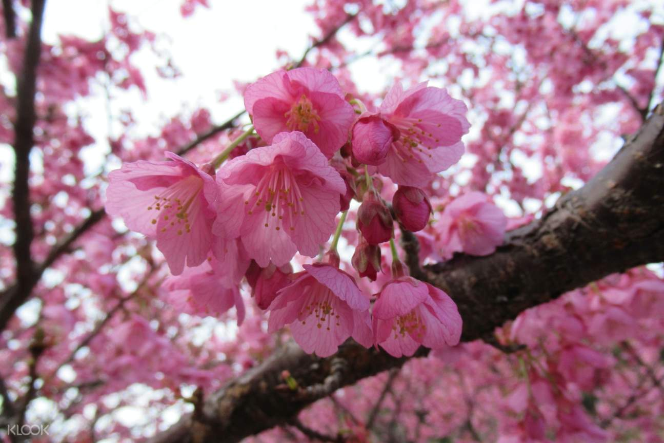 cherry blossom tour in tokyo