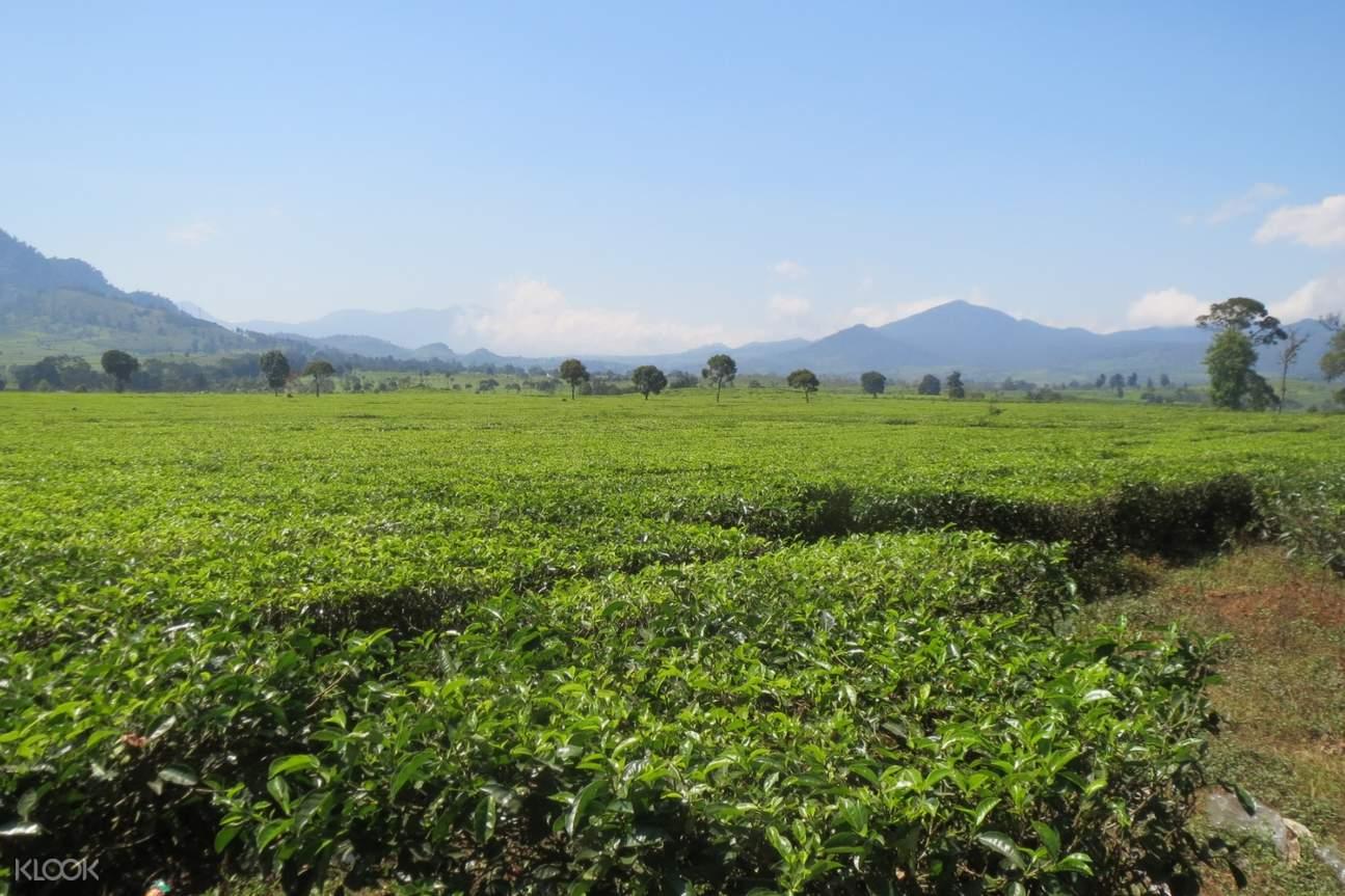 malabar tea plantation in bandung