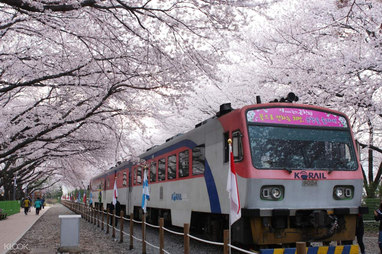 people in jinhae train station with cherry blossoms