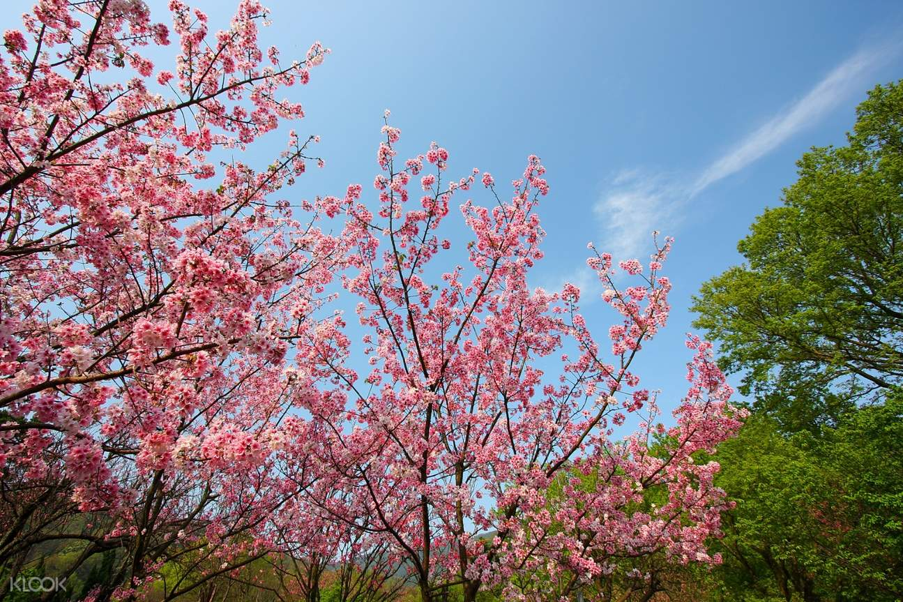 cherry blossom taipei