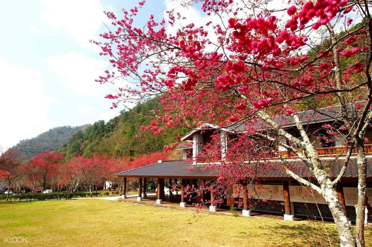 在櫻花樹下感受迎面吹來的清風,欣賞櫻花瓣緩緩飄落的美景