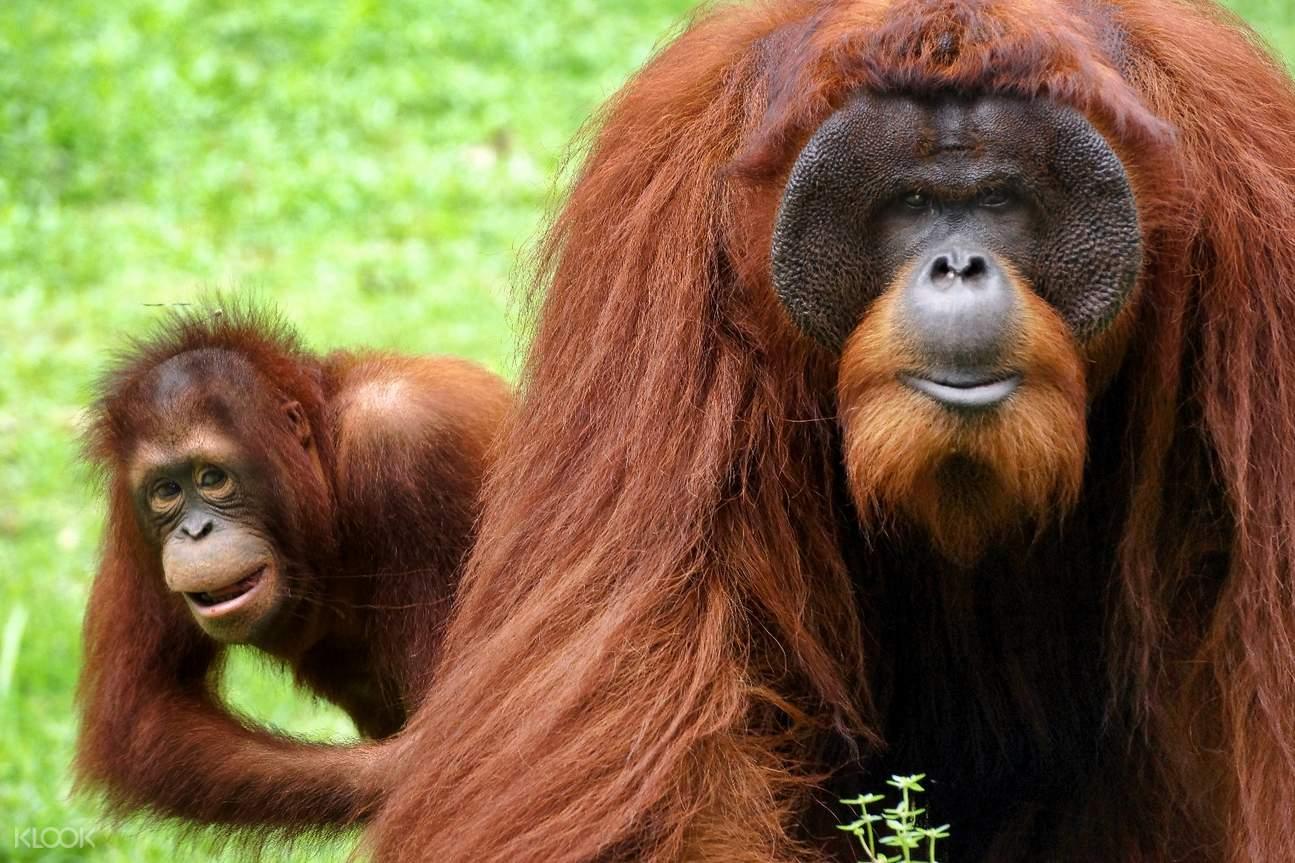 爱化摩沙野生动物园红毛猩猩