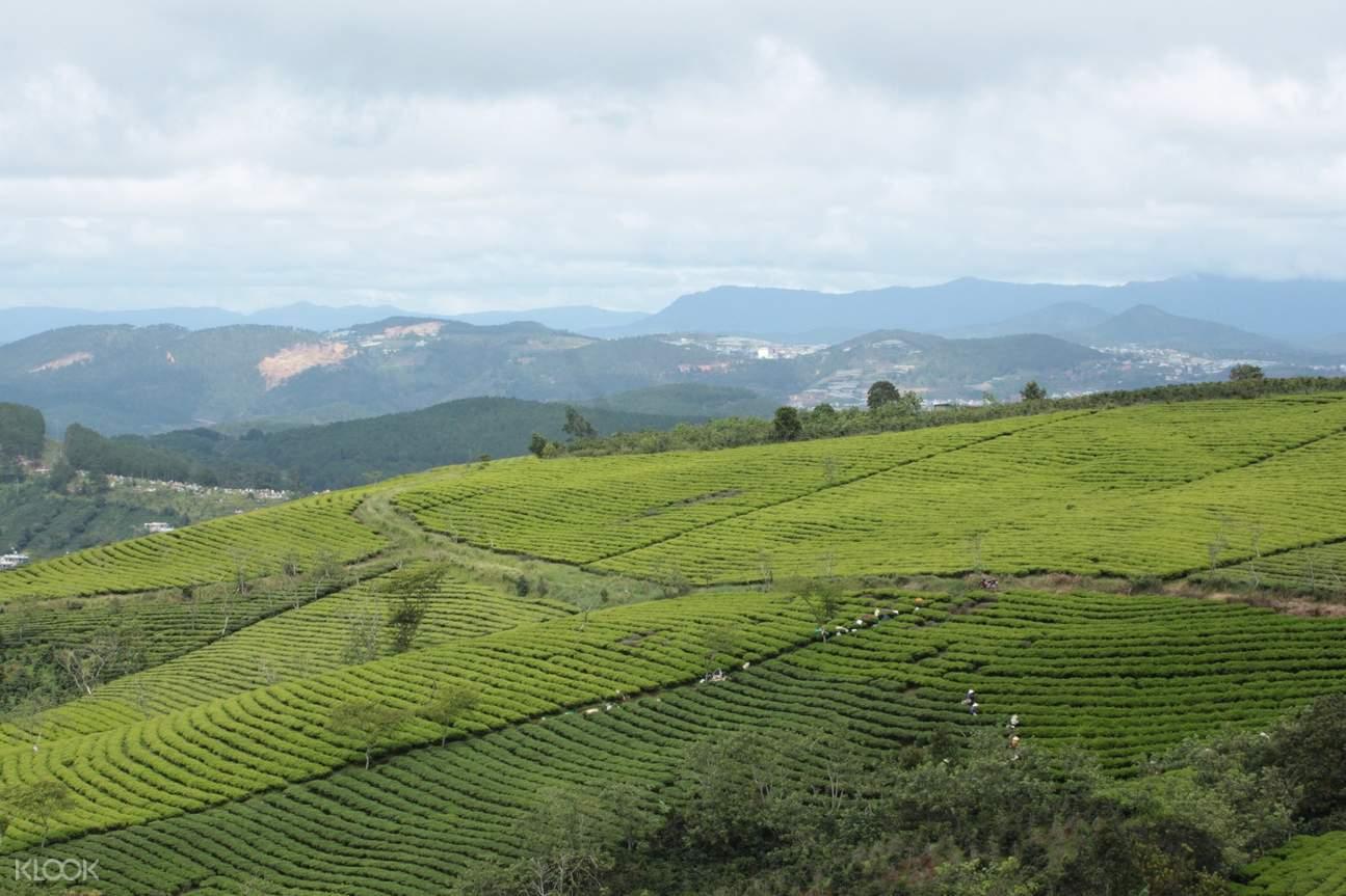 Cau Dat茶叶种植园