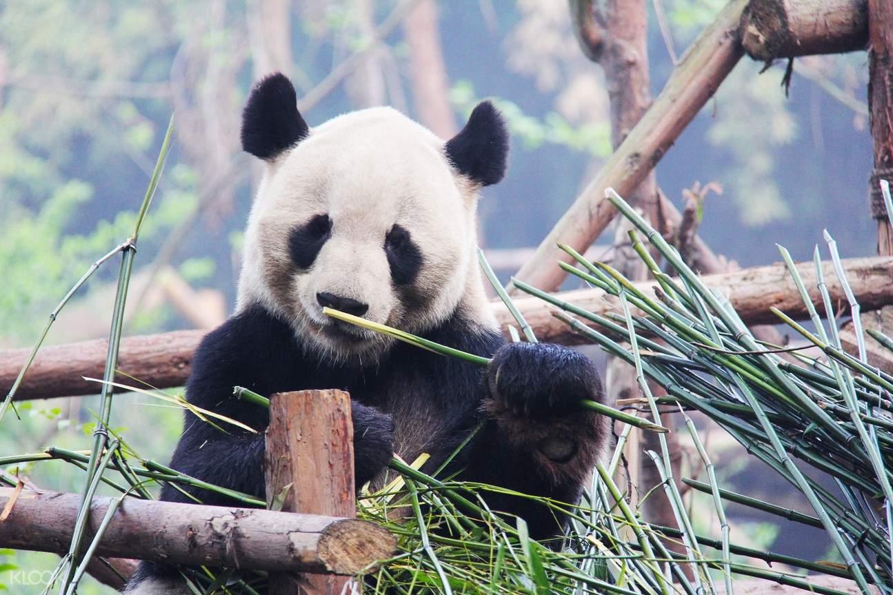shared shuttle bus transfers chengdu chengdu giant panda base