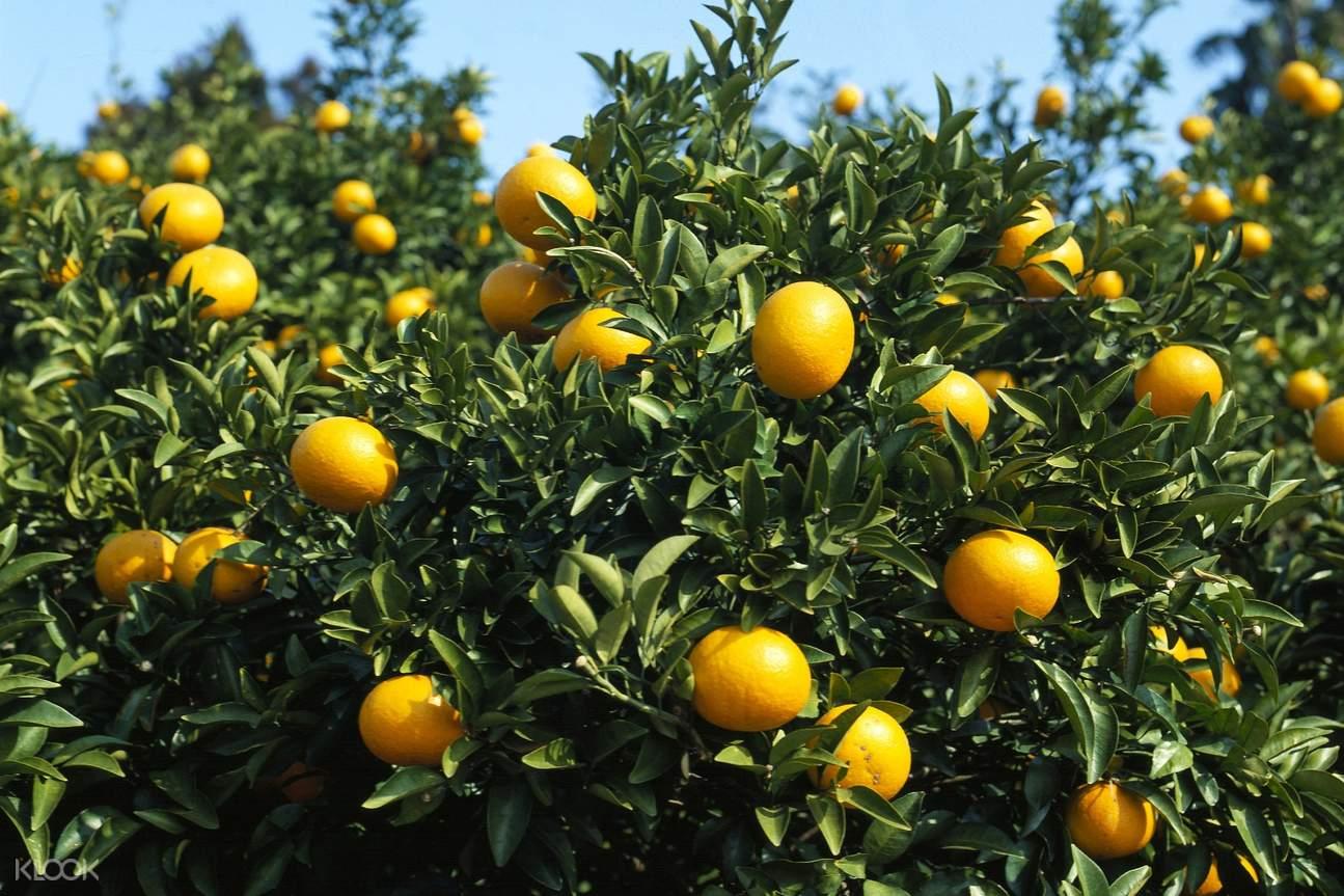 local tangerines in jeju