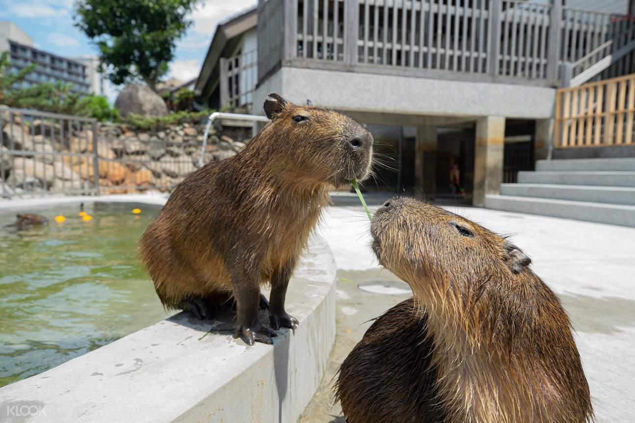 看水豚君慵懶瞇眼泡澡,感受近距離與動物互動的樂趣體驗