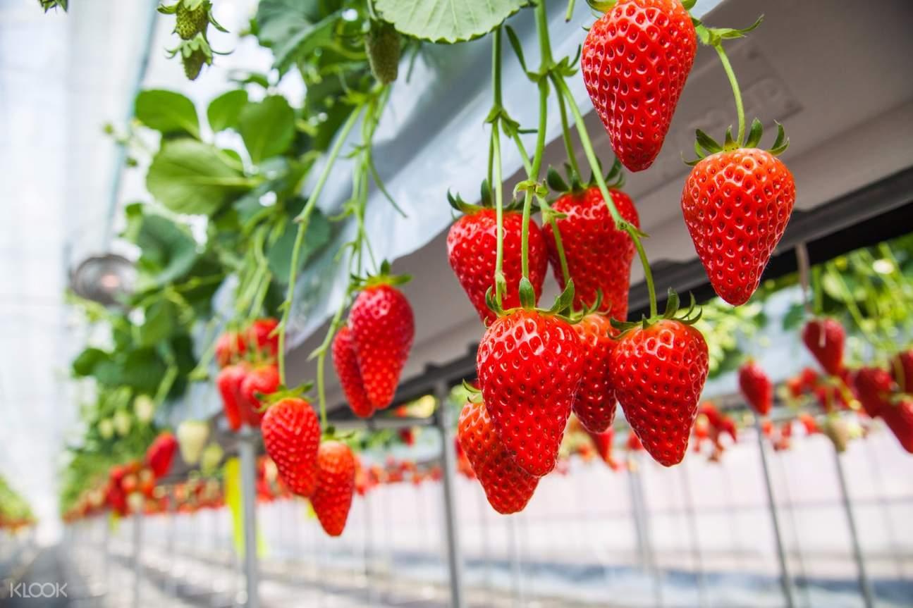 冈山草莓采摘,仓敷美观地区,冈山一日游,仓敷散步,美观地区,大阪周边游,大阪周边一日游