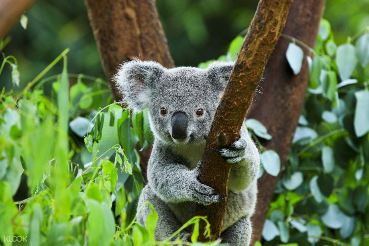 koalas in australia zoo