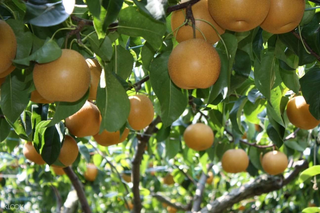 採摘梨子體驗