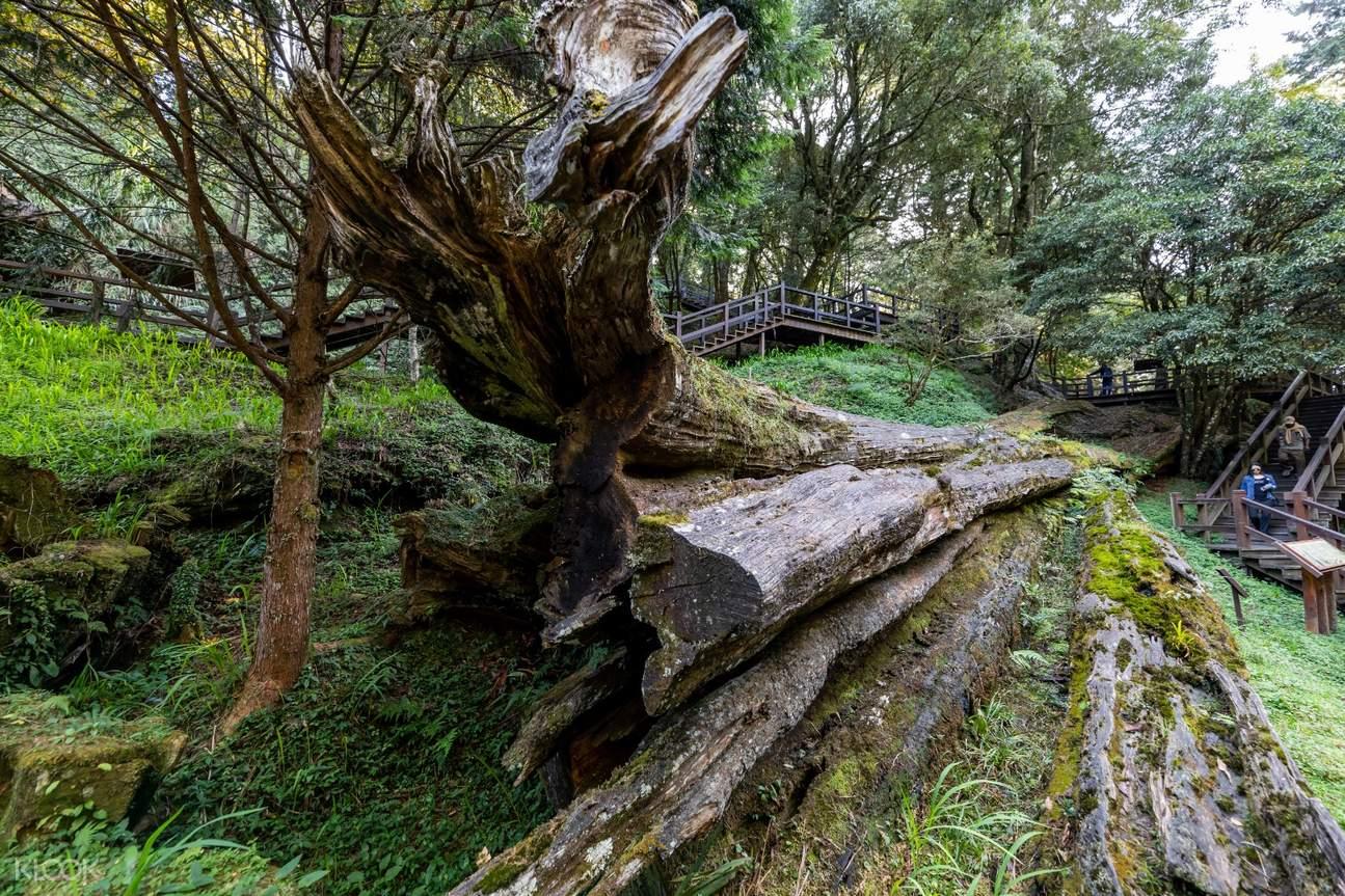 阿里山第三代檜木