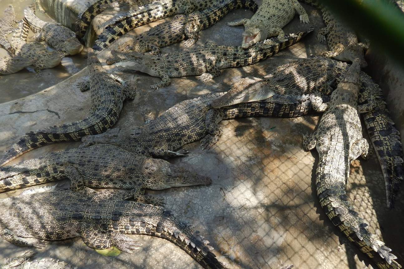 crocodiles in davao crocodile park
