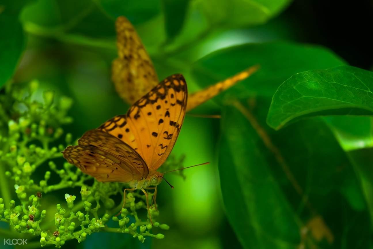 kupu-kupu oranye bintik hitam