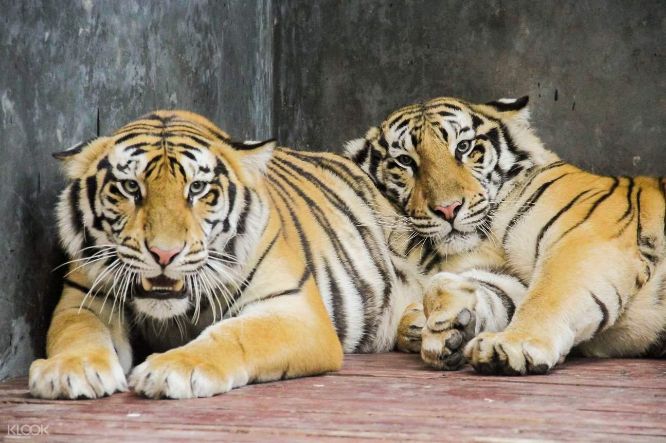 tigers in Lembang Park and Zoo